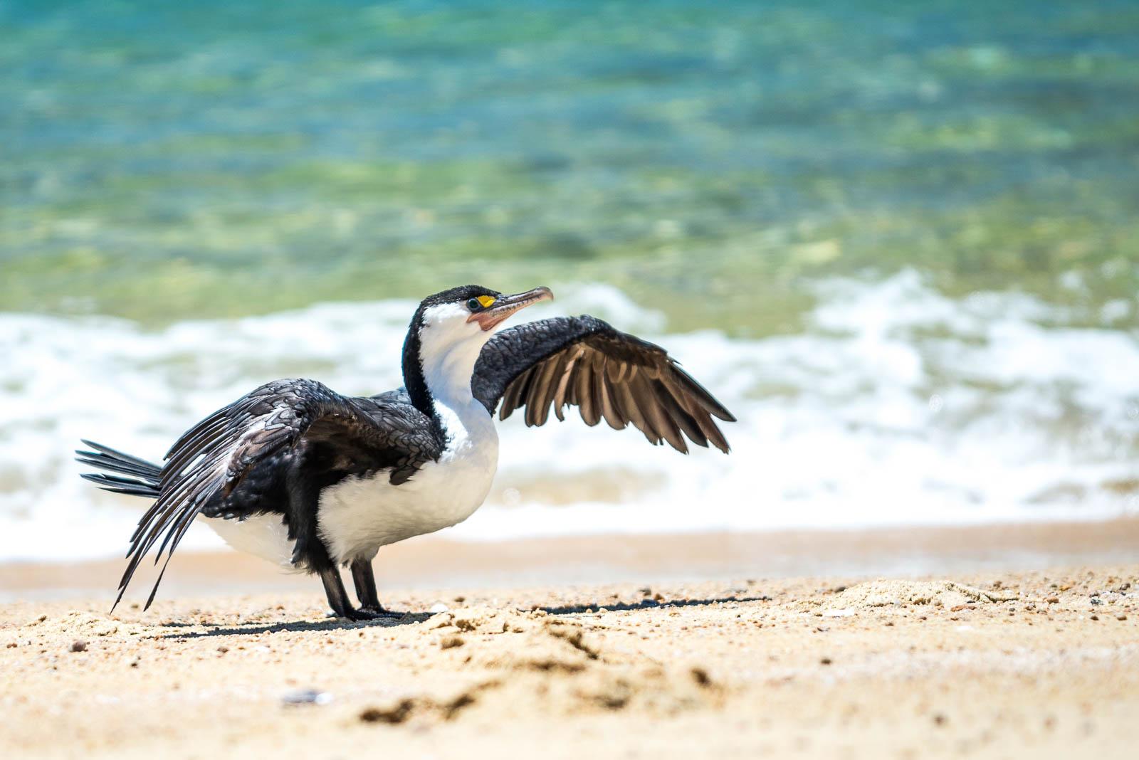 Pied Cormorant Abel Tasman