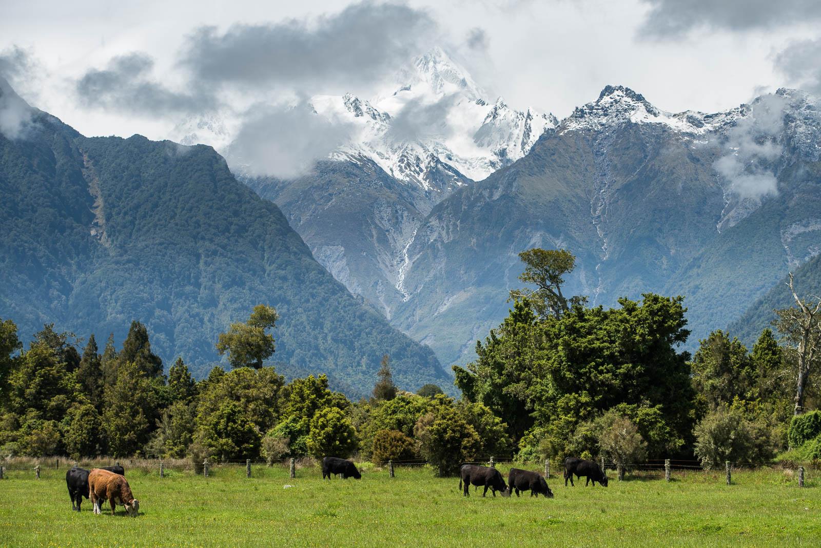 Fox Glacier cows Mt Cook