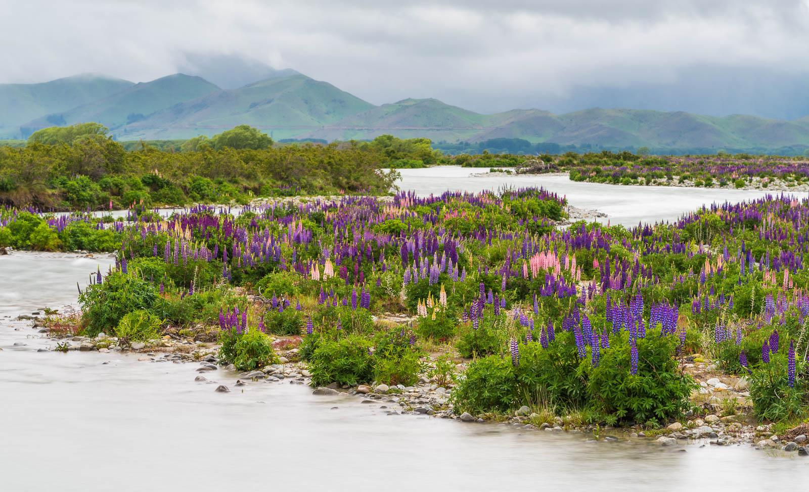 Omarama Ahuriri River lupine