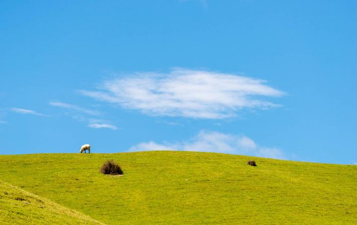 Stanley Brook sheep Takaka