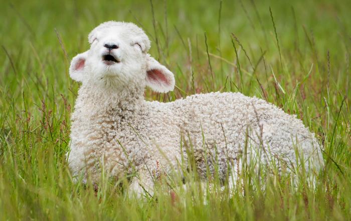 Wanaka Mt. Aspiring Road lamb New Zealand sheep