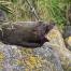 fur seal Carters Beach Westport Gibbson Beach