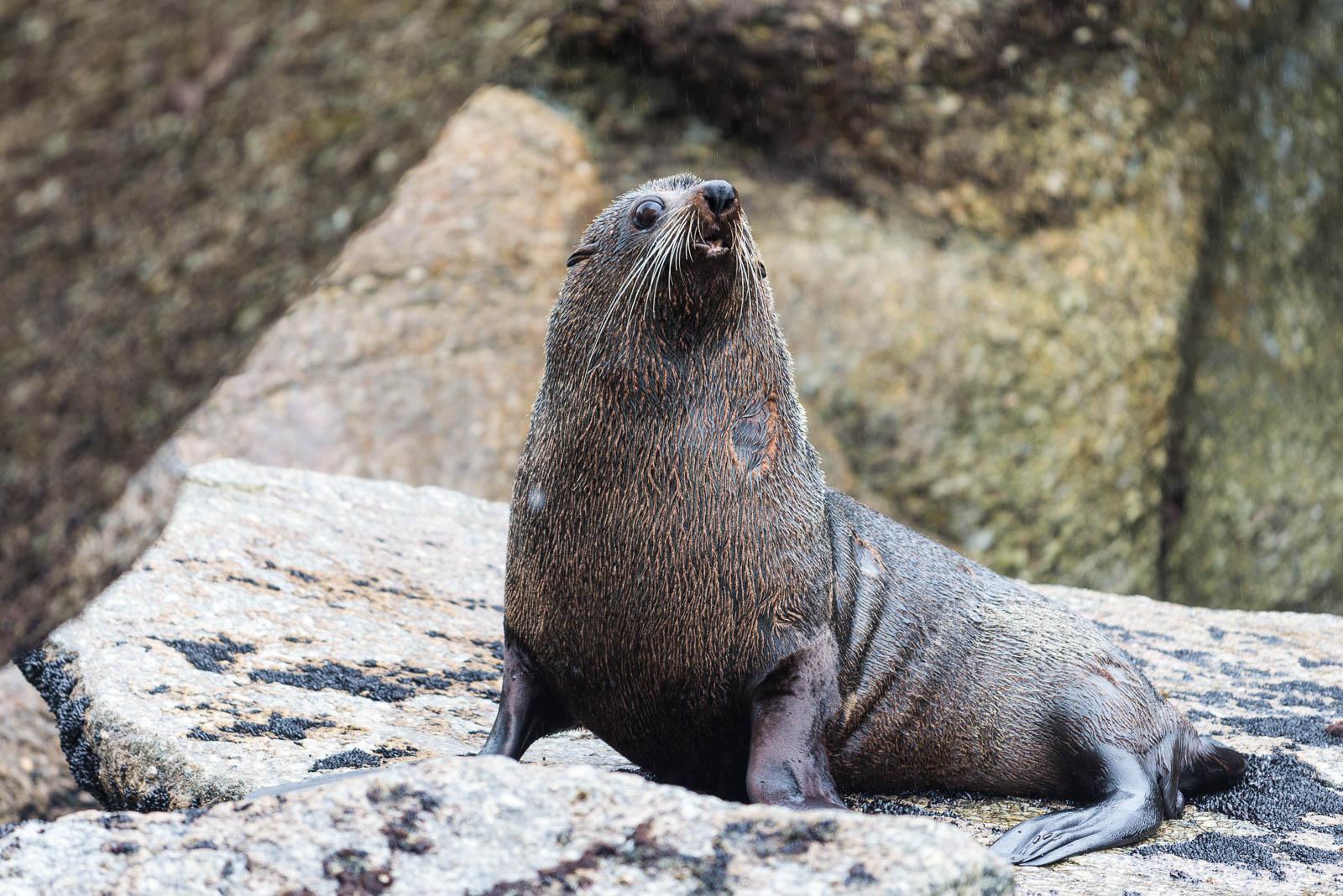 fur seal surprised Carters Beach Westport Gibbson Beach