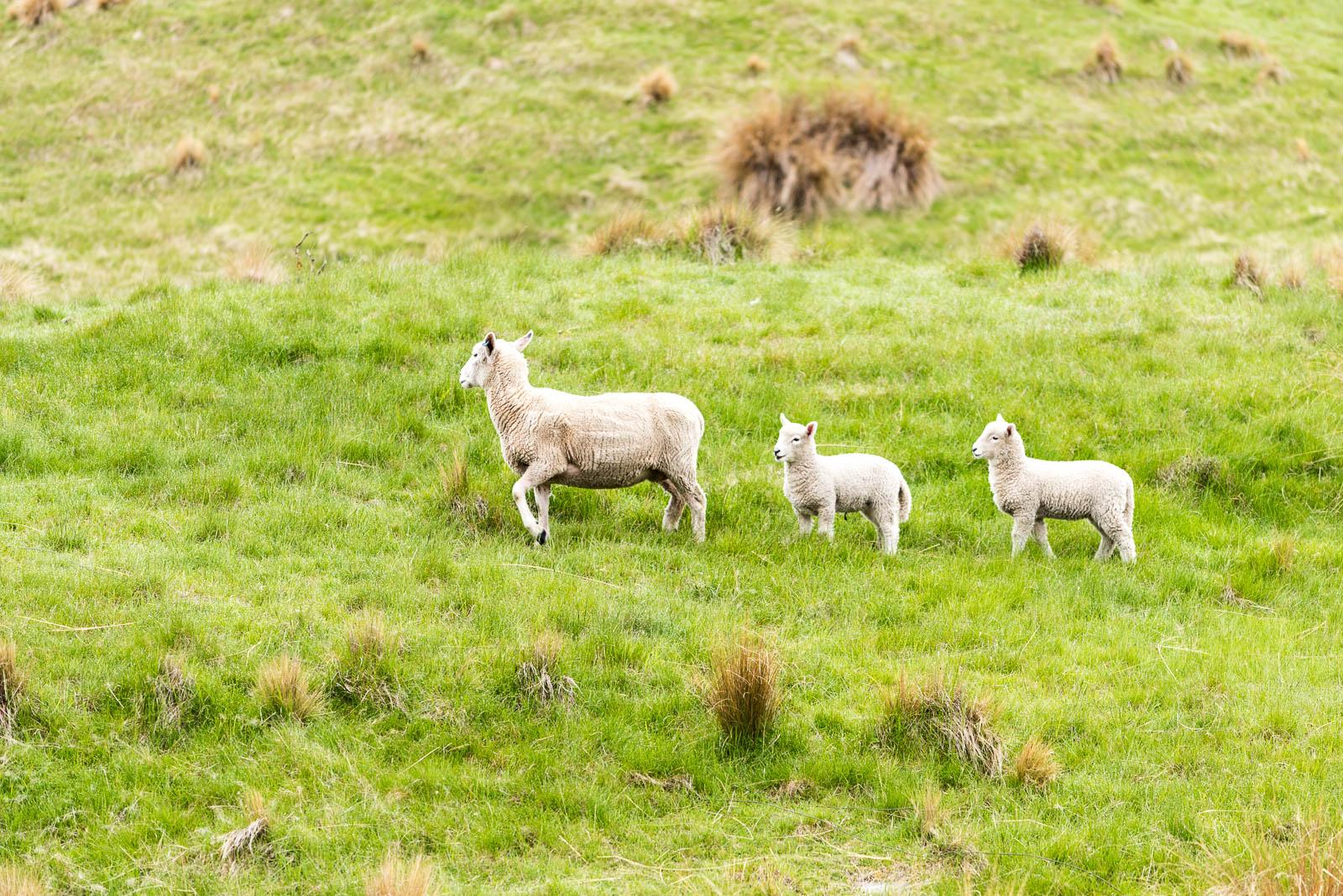 lake pukaki sheep lamb
