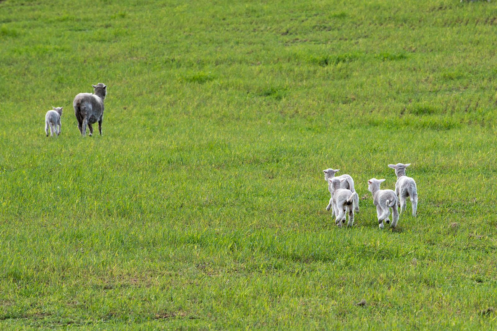 new zealand sheep lambs